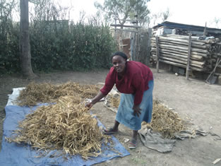 Madam Lucy Kinyua displaying her harvested ready to be threshed B9 beans