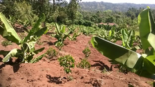 coffee banana intercrop démonstration Garden at Karuoro