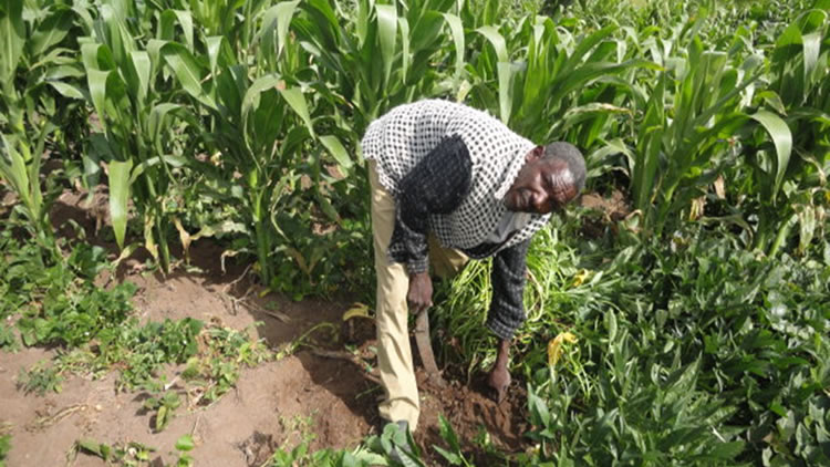 A mentally sound Francis in his shamba after being rehabilitated by caritas mental health programme.